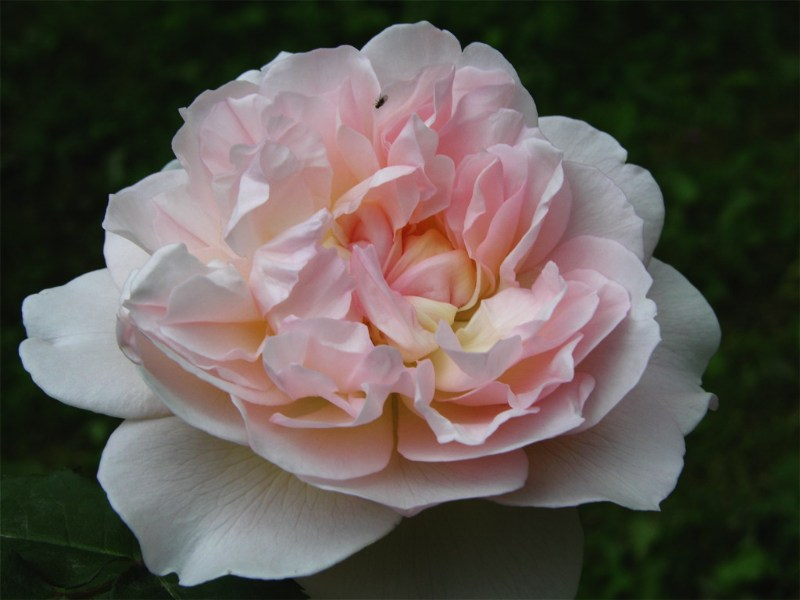 "фото альбом Роза ""Mary Magdalene"" (Austin) Роза ""Mary Magdalene"" Цветок в полном роспуске"
