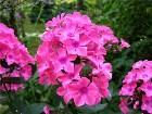 фото - Неизвестный 4 - Флоксы в моем саду