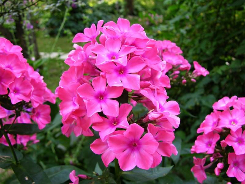 фото альбом Флоксы в моем саду Неизвестный 4