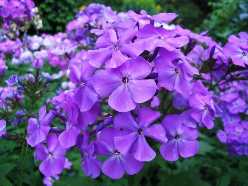 фото альбом Флоксы в моем саду Неизвестный 5