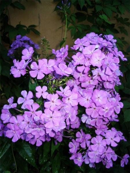 фото альбом Флоксы в моем саду Неизвестный 5 вечерние краски