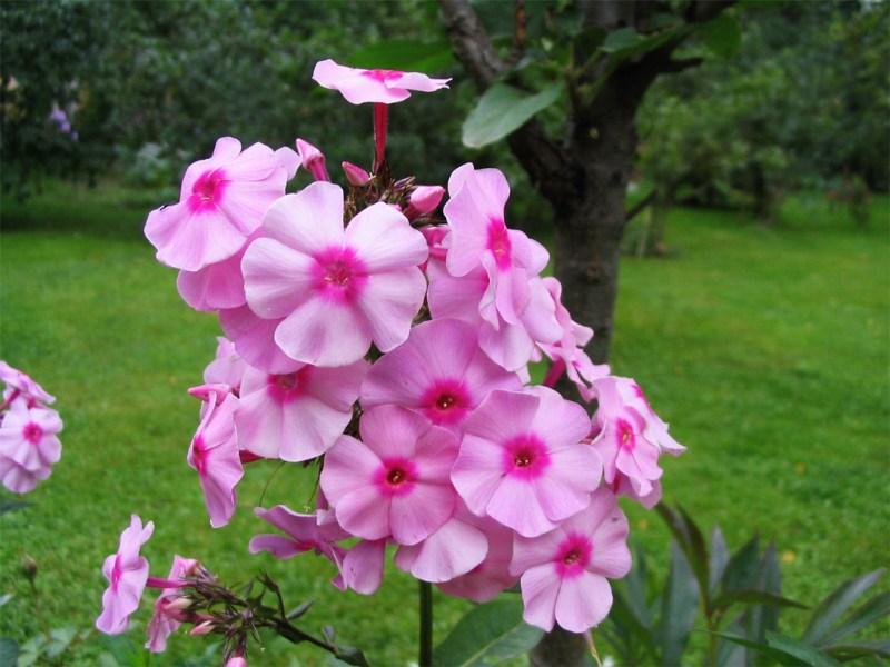 фото альбом Флоксы в моем саду Неизвестный 6 Старый  престарый флокс
