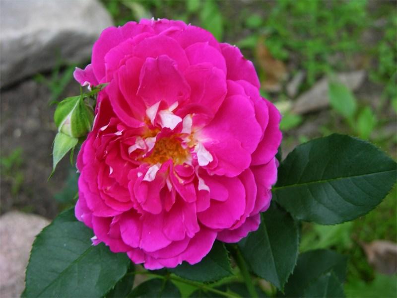 """фото альбом Роза Ruffles """"Passion"""" (Interplant) Роза Ruffles """"Passion"""" Какие разные цветы, бывают большие и маленькие:))"""
