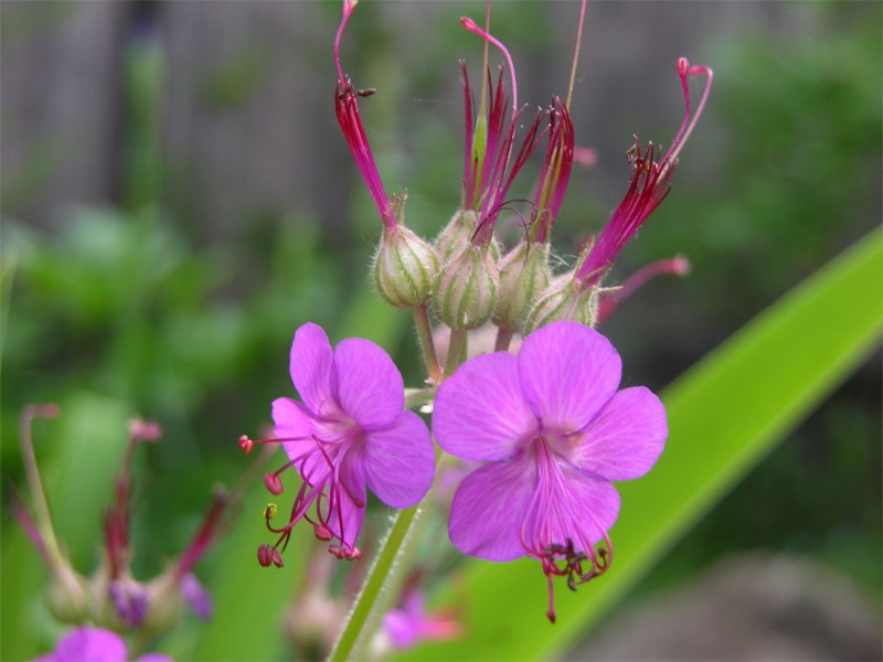 фото альбом Герань (Geranium) Герань Geranium macrorrhizum