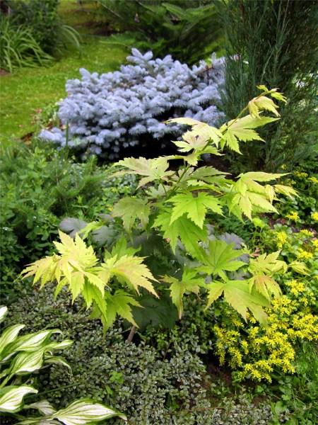 фото альбом Клен ложнозибольдов — Acer pseudosieboldianum Acer pseudosieboldianum   Лето 2007 года