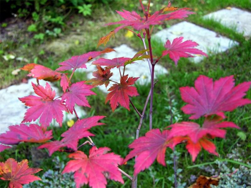 фото альбом Клен ложнозибольдов — Acer pseudosieboldianum Acer pseudosieboldianum  Осень 2006 года