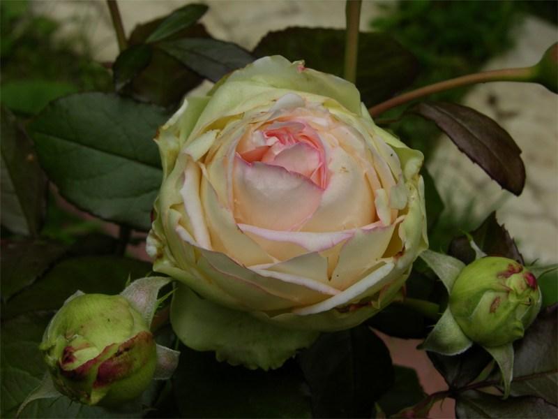 "фото альбом Роза ""Biedermeier"" (Tantau 2004) Роза ""Biedermeier"""