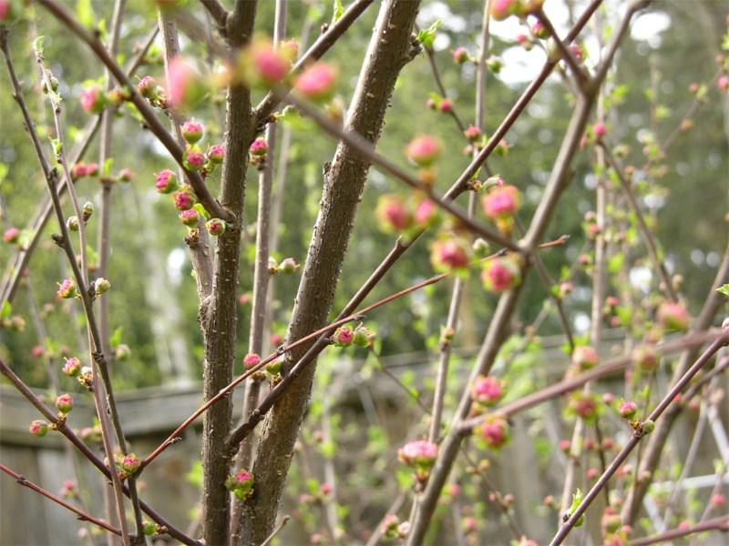 фото альбом Деревья и кустарники Prunus triloba   Маленькие бутончика усыпали все веточки миндаля... А ведь ни разу не укрывался от морозов на зиму!