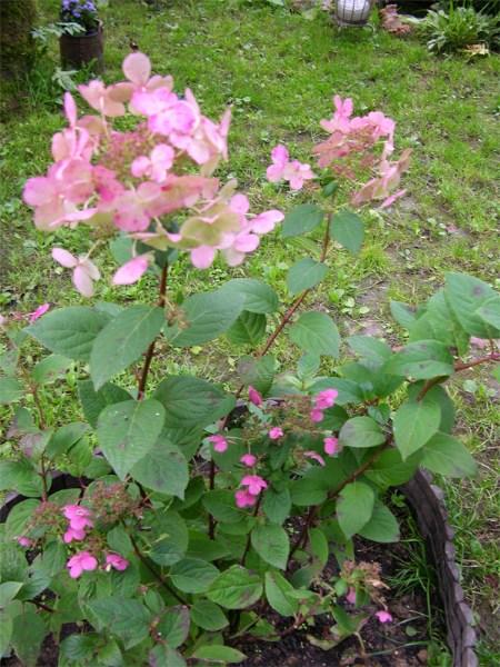"""фотографии альбом Hydrangea paniculata """"Early Sensation"""" Hydrangea paniculata """"Early Sensation"""" Фотка плохая, но показывает, какой цвет у стер. цветов стал в сентябре"""