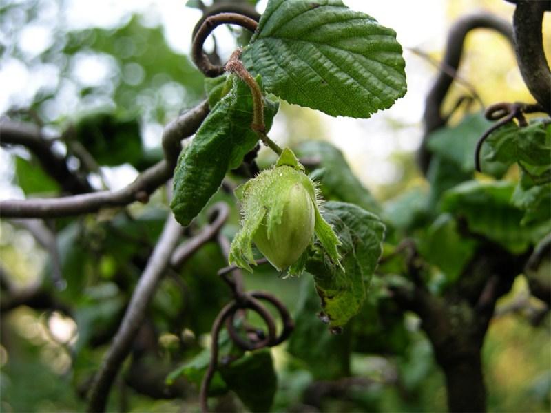"""фото альбом Орехоплодные Corylus avellana """"Contorta"""" Урожай:)))"""