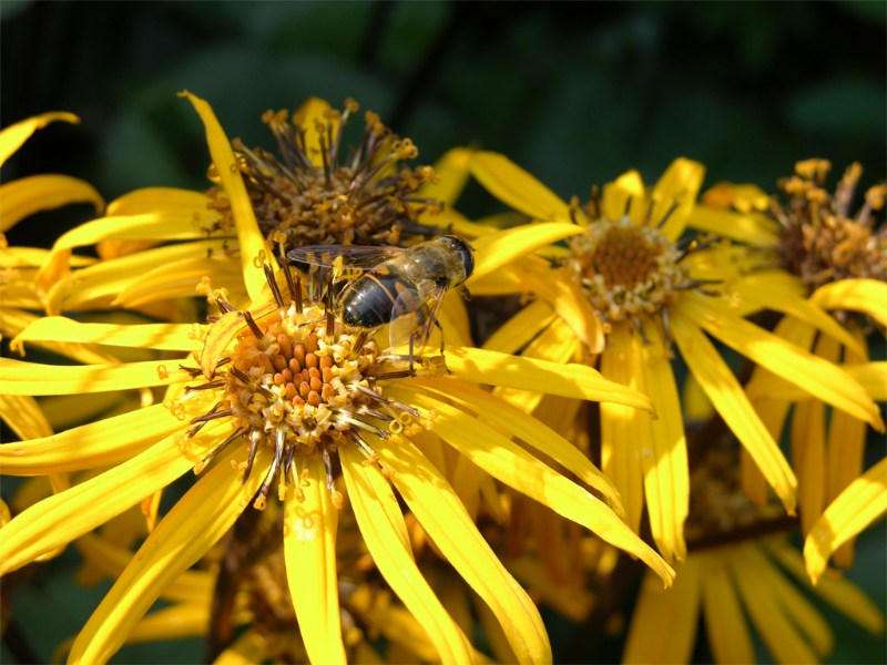 """фото альбом Обитатели моего сада """"Не видите, я тоже почти пчелка! И люблю сладенькое"""" ;))"""