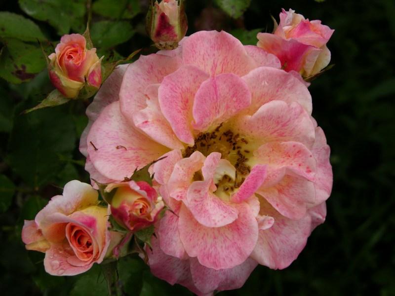 фото альбом Michel Serrault(MEIpicoty), Флорибунда, Meilland, 2006 Осенние цветы рспускаются...