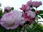 "фото - Познакомтесь,Роза  Harlekin (KORlupo, Arlequin, Kiss of Desire) - Роза ""Harlekin"" (KORlupo, Arlequin, Kiss of Desire) 1986 г."