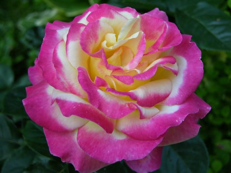 фотографии альбом Роза Pullman Orient Express (BALpeace, Love and Peace).Twomey 20 Новый 2009 год. Новые цветы...