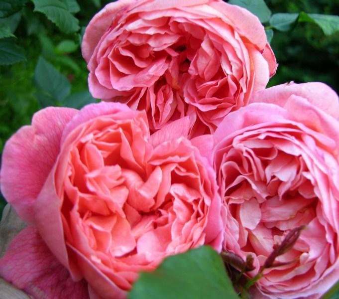 фото альбом Роза Summer Song® (AUStango) Английские розы Крупные сильно махровые цветы