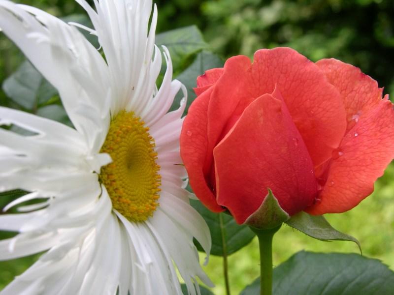 """фото альбом Роза Summer Song® (AUStango) Английские розы """"О чем шепчетесь?"""" :)"""