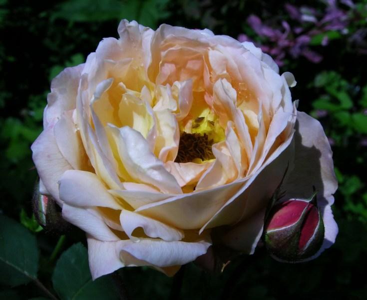 """фото альбом Роза """"Lady Emma Hamilton"""" (AUSbrother) Austin 2004 Был и такой """"бракованный"""" цветочек:))"""