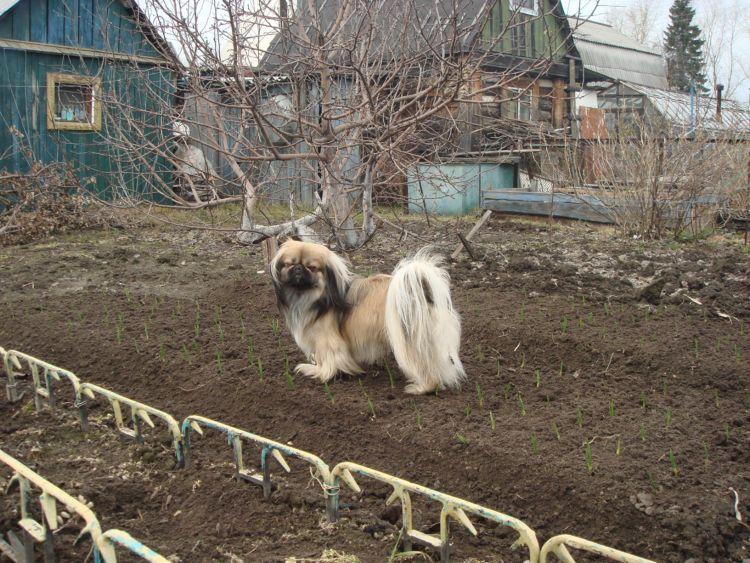 фото альбом животные Пекинес