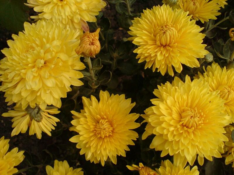 Мои фото желтые хризантемы