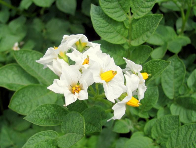 фото альбом Макро - флора Цветы картофеля.jpg