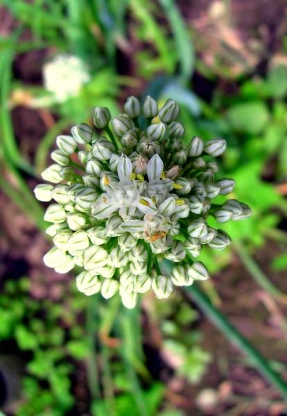 фото альбом Макро - флора Соцветие лука-.jpg