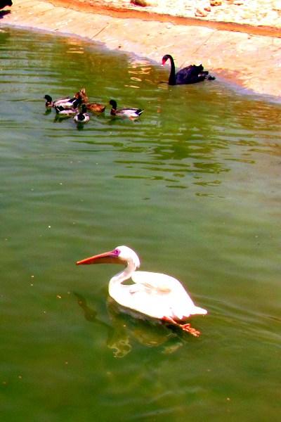 фото альбом Звери, птицы, рыбы... Водоплавающие.jpg