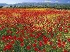 фото - endlesspoppiesspainxh1.jpg - Алый цвет