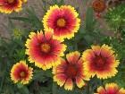 фото - DSCF0410.JPG - Летние цветы