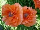 фото - P1050491.JPG - Летние цветы