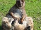 фото - кенгуру дурачится. - красивые зверушки.