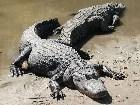 фото - Крокодил