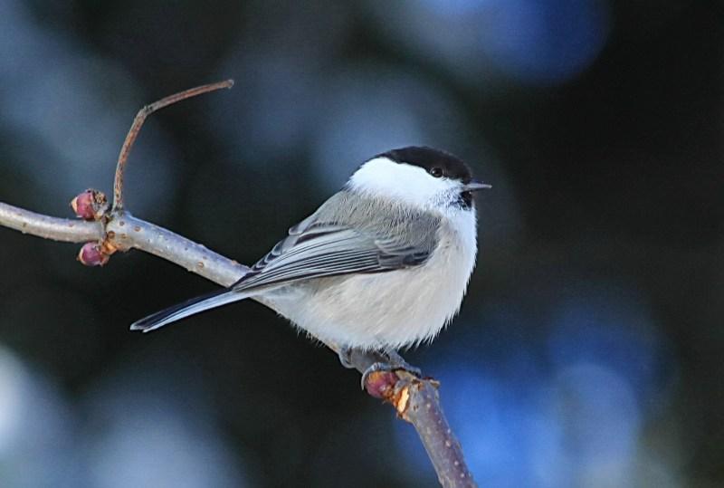 фото альбом Птицы IMG_9747а.jpg
