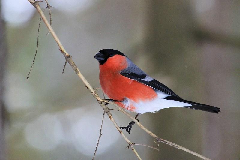 фото альбом Птицы Снегирь